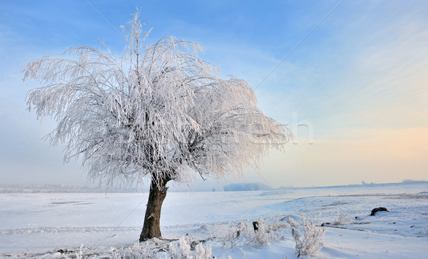 hoar-frost on tree in winter Stock photo © mady70