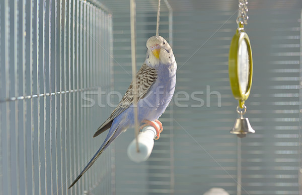 Indigo Budgerigar parrot Stock photo © mady70