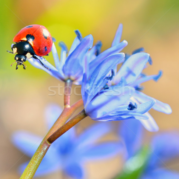 ladybug on blue flower Stock photo © mady70