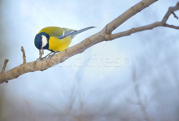 Tit drzewo ptaków zielone Zdjęcia stock © mady70