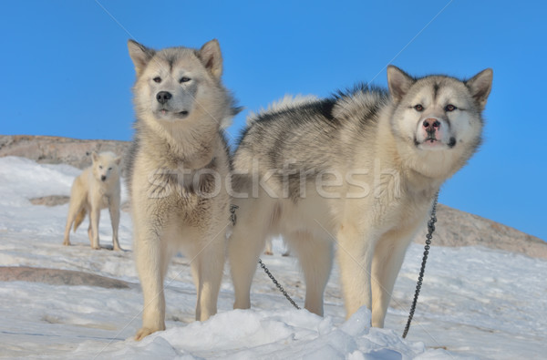 Greenland sled dogs Stock photo © mady70