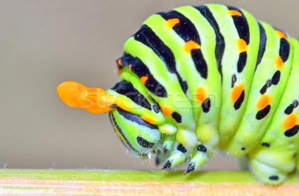 Stok fotoğraf: Tırtıl · ayrıntılar · kelebek · doğa · güzellik · yaz