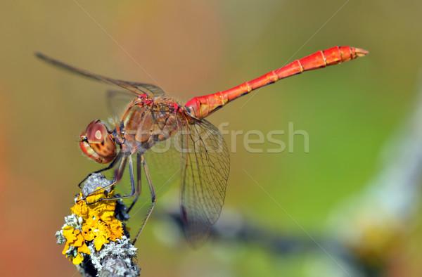 赤 トンボ 小枝 苔 オレンジ 緑 ストックフォト © mady70