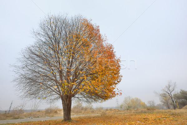 Sam brzozowy drzewo jesienią czasu niebo Zdjęcia stock © mady70