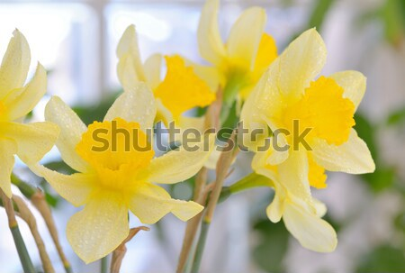 Fresh spring narcissus flowers Stock photo © mady70