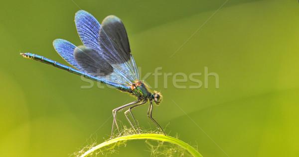 Sárkány légy penge fű természetes tavasz Stock fotó © mady70