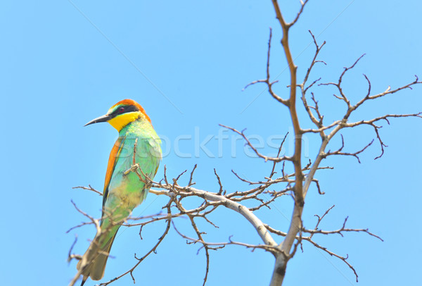 european bee-eater (Merops Apiaster) outdoor Stock photo © mady70