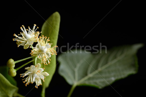 Flowers of linden tree  Stock photo © mady70