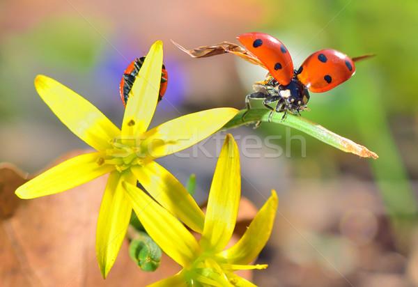 Katicabogarak tavaszi virágok részletek tavasz természet kert Stock fotó © mady70