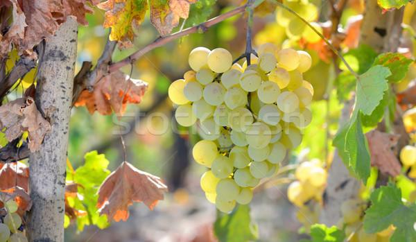 White grape in  wineyard Stock photo © mady70