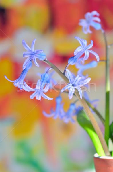 hyacinth flowers Stock photo © mady70