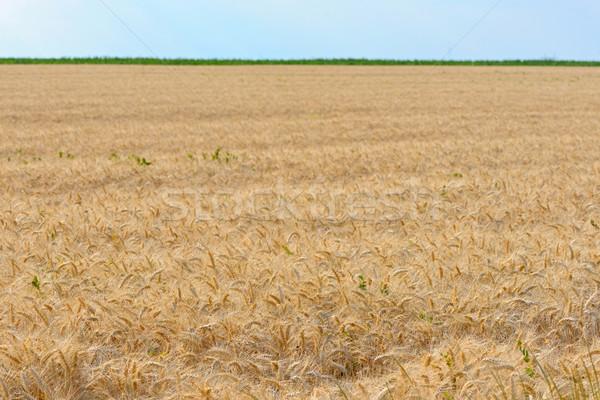Field of ripened wheat Stock photo © mady70