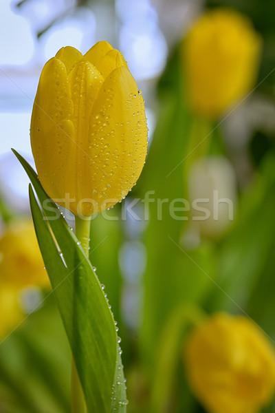 желтый Tulip роса капли весны время Сток-фото © mady70
