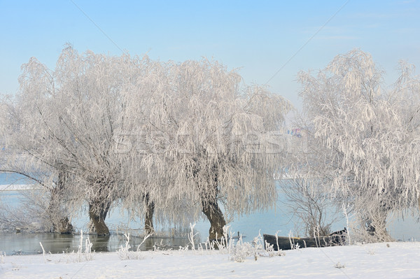 winter trees covered with frost Stock photo © mady70