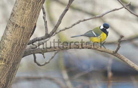Great Tit (Parus major) in winter time Stock photo © mady70