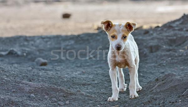homeless dog Stock photo © mady70