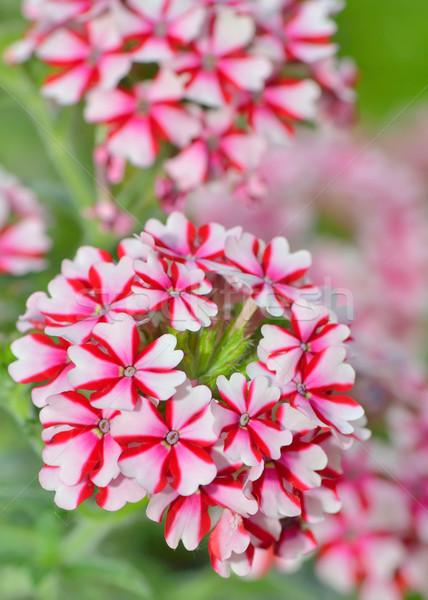 geranium flowers Stock photo © mady70