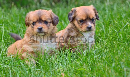 pekingese puppy dogs Stock photo © mady70