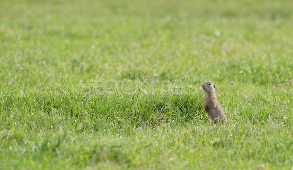 Préri kutya mező tavasz idő zöld Stock fotó © mady70