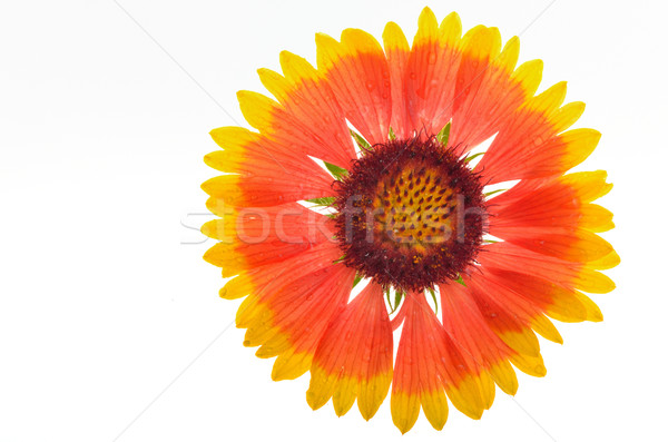 Gaillardia aristata Stock photo © mady70