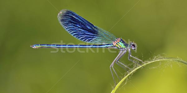 Dragonfly (Crocothemis erythraea) Stock photo © mady70