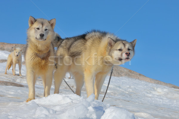 Greenland sled dogs relaxing Stock photo © mady70
