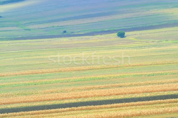 summer field stripes Stock photo © mady70