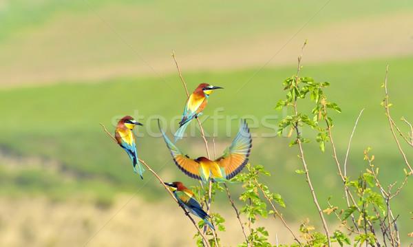 european bee-eater (Merops Apiaster) outdoor Stock photo © mady70