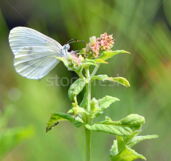Pieris brassicae, Cabbage butterfly Stock photo © mady70