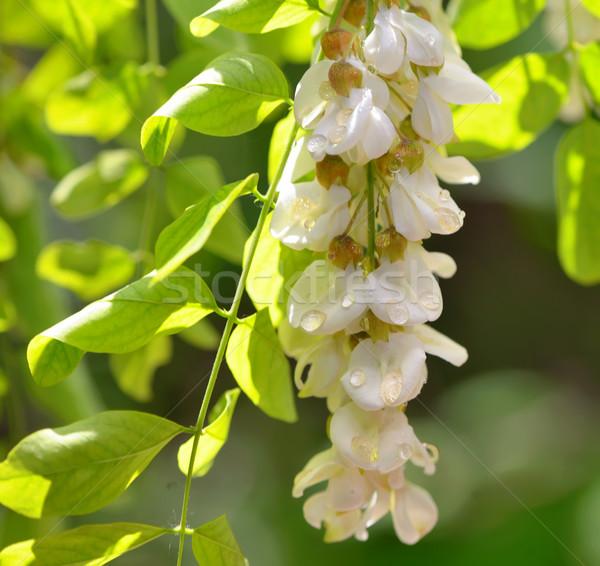 honey drops  with acacia blossoms Stock photo © mady70