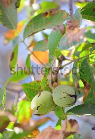 Maturo noce shell natura frutta Foto d'archivio © mady70