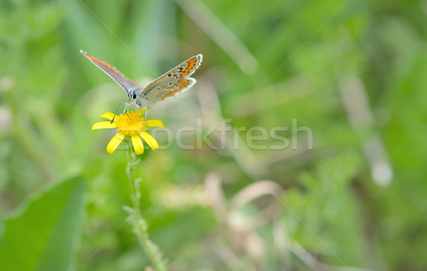 Common Blue (Polyomathus icarus) butterfly  Stock photo © mady70