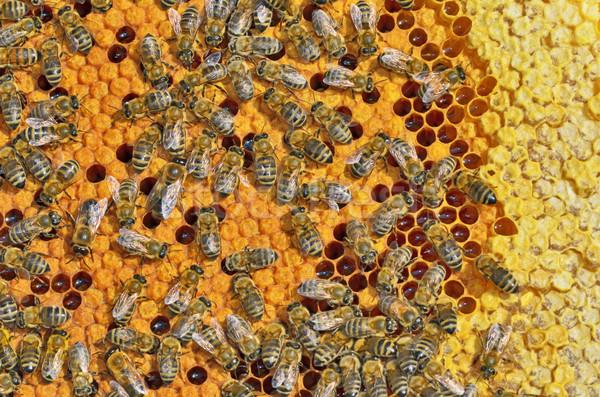 Stockfoto: Bijen · honingraat · frame · macro · shot · boerderij