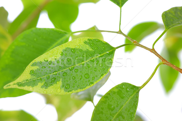 ficus leaves close-up Stock photo © mady70