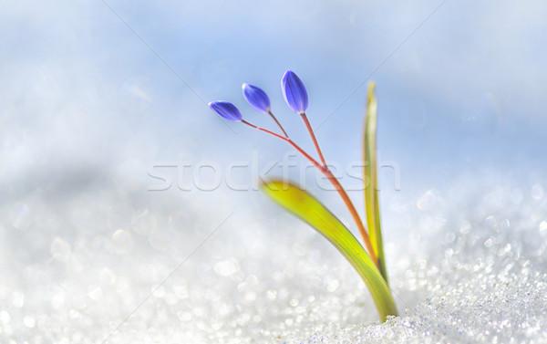 Spring flower crocus Stock photo © mady70