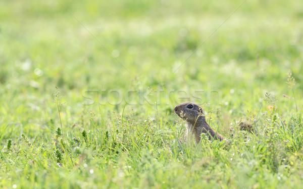 Stock fotó: Préri · kutya · mező · tavasz · idő · zöld