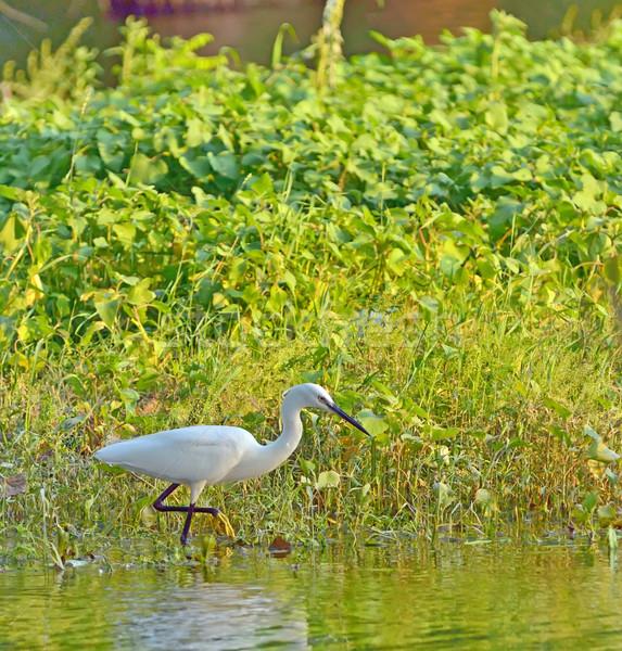 little egret (Egretta garzetta) Stock photo © mady70