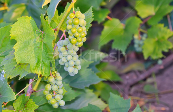 unripe grapes in vineyard Stock photo © mady70