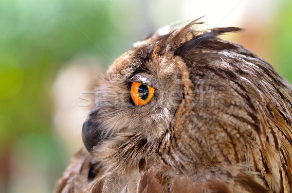 Oeil eagle owl orange oiseau plumes aigle Photo stock © mady70