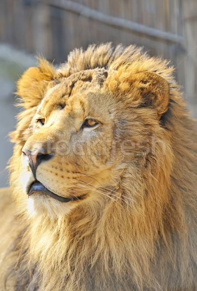 African lion Stock photo © mady70