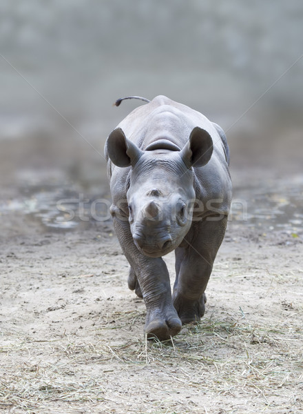 young rhino Stock photo © magann