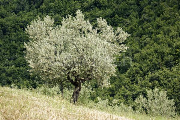 öreg olajfa kép Olaszország fa mező Stock fotó © magann