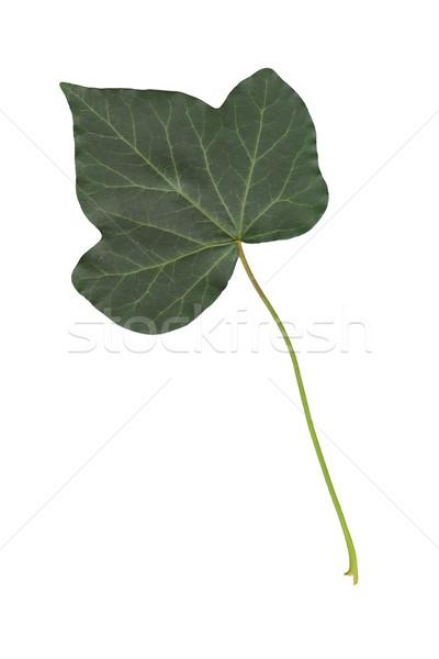 Ivy foglia immagine isolato bianco sfondo Foto d'archivio © magann