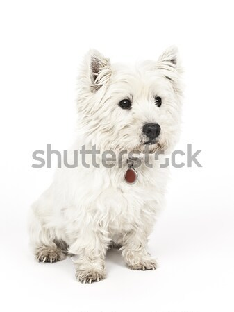 Blanche terrier image Nice portrait drôle Photo stock © magann