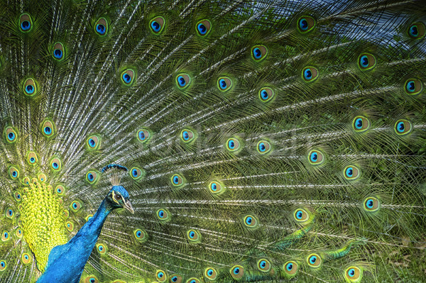peacock showing his feathers Stock photo © magann