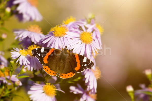 butterfly Vanessa atalanta Stock photo © magann