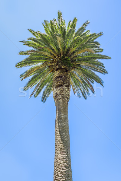 palm tree Stock photo © magann
