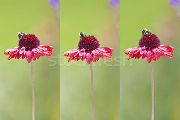 bee on flower Stock photo © magann