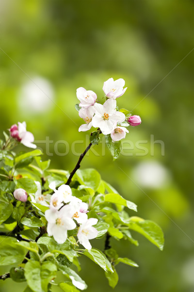 apple blossom Stock photo © magann