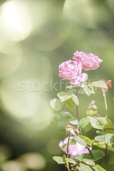 wild rose Stock photo © magann